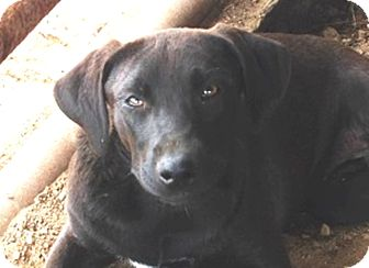 Flat-Coated Retriever/Labrador Retriever Mix Puppy for adoption in Preston, Connecticut - Quinn