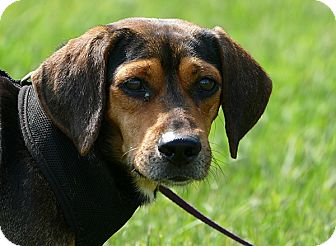 Beagle Mix Dog for adoption in Pennigton, New Jersey - Charlie Brown