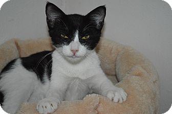 Domestic Shorthair Kitten for adoption in Arlington/Ft Worth, Texas - Little Joe