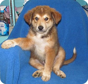 Great Pyrenees Mix Puppy for adoption in Newburgh, Indiana - Scooter- Sweet !