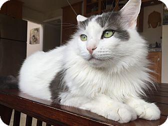 Turkish Van Cat for adoption in Santa Ana, California - Journey (Courtesy Listing)