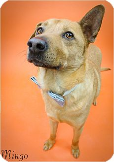 Australian Kelpie/Shepherd (Unknown Type) Mix Dog for adoption in Phoenix, Arizona - Mingo