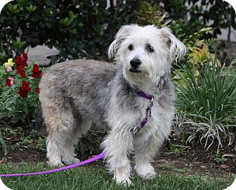 Schnauzer (Miniature)/Poodle (Miniature) Mix Dog for adoption in Newport Beach, California - ALEXANDRA
