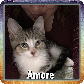 Domestic Shorthair Kitten for adoption in Louisville, Kentucky - Amore