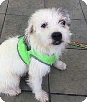 Terrier (Unknown Type, Medium) Mix Dog for adoption in San Antonio, Texas - Archie