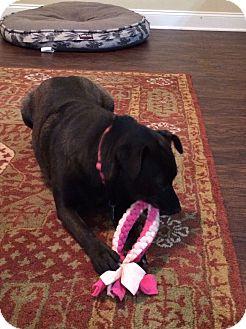 Labrador Retriever Mix Dog for adoption in Nashville, Tennessee - Pippa