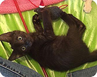 Domestic Shorthair Kitten for adoption in Tampa, Florida - Whopper Junior