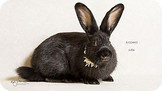 Netherland Dwarf Mix for adoption in Palm Desert, California - Olive