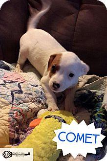 Terrier (Unknown Type, Medium) Mix Puppy for adoption in DeForest, Wisconsin - Comet