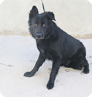 Shepherd (Unknown Type) Dog for adoption in Odessa, Texas - A 30 Benji