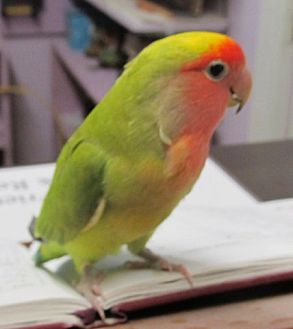 Lovebird for adoption in Edgerton, Wisconsin - Sassy