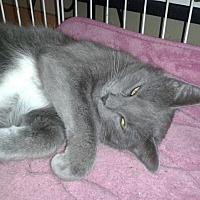 American Shorthair Cat for adoption in Acworth, Georgia - Smokey