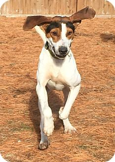 Treeing Walker Coonhound/Hound (Unknown Type) Mix Dog for adoption in Lexington, Massachusetts - Buford