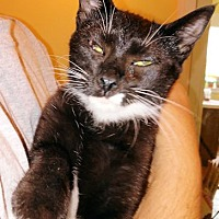Domestic Mediumhair Cat for adoption in Cherry Hill, New Jersey - Charlie