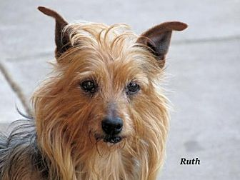 Yorkie, Yorkshire Terrier Dog for adoption in Oklahoma City, Oklahoma - Ruth