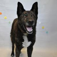 Shepherd (Unknown Type) Mix Dog for adoption in Wantagh, New York - Arnold