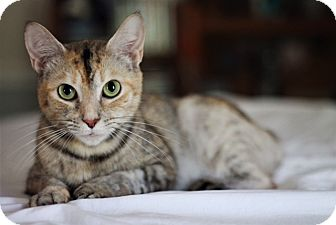 Domestic Shorthair Cat for adoption in Marietta, Georgia - Frizzle