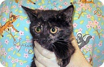 Domestic Shorthair Kitten for adoption in Wildomar, California - 357186