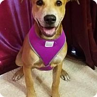 Adopt A Pet :: Macy ($100.00 Adoption Fee) - Newark, DE