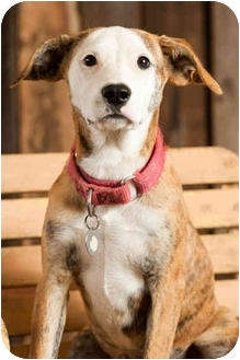 Pit Bull Terrier Mix Puppy for adoption in Portland, Oregon - Piper