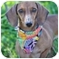 Photo 1 - Dachshund Dog for adoption in Portsmouth, Rhode Island - Shrimp