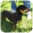 Photo 4 - Dachshund Dog for adoption in Sugar Land, Texas - Socks