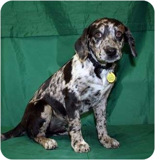 Catahoula Leopard Dog/Retriever (Unknown Type) Mix Puppy for adoption in Westminster, Colorado - CAPPY