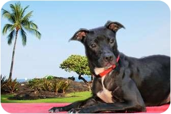 American Staffordshire Terrier/Labrador Retriever Mix Dog for adoption in Livonia, Michigan - Pip -Adoption Pending