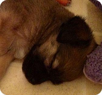 Beagle/Shepherd (Unknown Type) Mix Puppy for adoption in ST LOUIS, Missouri - Shermie