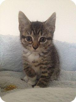 Domestic Mediumhair Kitten for adoption in Island Park, New York - Nutmeg