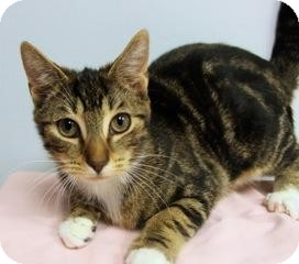 Domestic Shorthair Cat for adoption in Gainesville, Florida - Pineapple