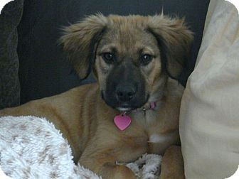 Shepherd (Unknown Type)/Labrador Retriever Mix Puppy for adoption in Houston, Texas - Trixie