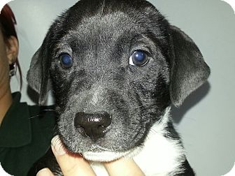 Labrador Retriever Mix Puppy for adoption in South Jersey, New Jersey - Arnie