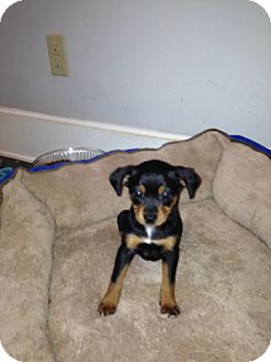 Rat Terrier Mix Puppy for adoption in South Dennis, Massachusetts - July