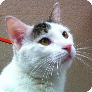 Domestic Shorthair Cat for adoption in Gilbert, Arizona - Ozzie