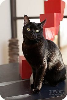 Domestic Shorthair Cat for adoption in Mission Viejo, California - Ruben