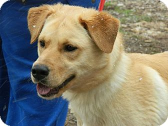 Labrador Retriever Mix Dog for adoption in Buffalo, New York - Astro: 2 years