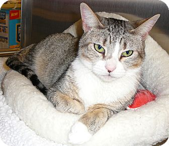 Domestic Shorthair Cat for adoption in Springfield, Pennsylvania - Toonsis