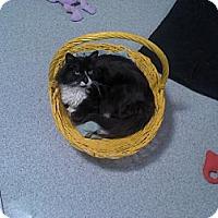 Domestic Mediumhair Cat for adoption in Sherman Oaks, California - Dreyfest