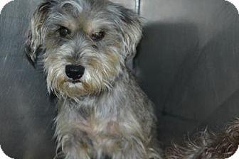 Schnauzer (Standard) Mix Dog for adoption in Edwardsville, Illinois - Rummy