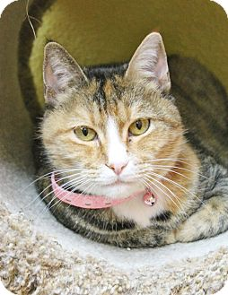 Domestic Shorthair Cat for adoption in Benbrook, Texas - Roxanne