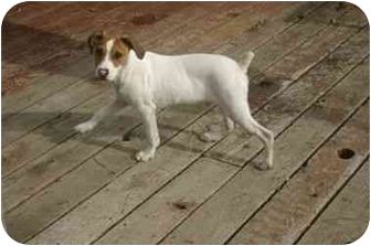Jack Russell Terrier Puppy for adoption in Muldrow, Oklahoma - JACKIE