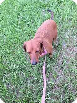 Dachshund Dog for adoption in Tavares, Florida - Roxy