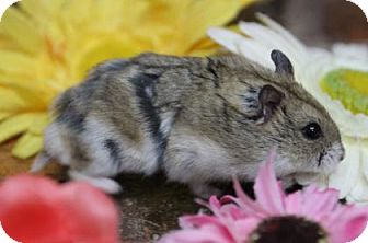 Hamster for adoption in Benbrook, Texas - Lacy