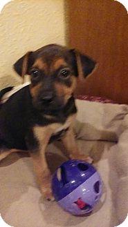 German Shepherd Dog/Hound (Unknown Type) Mix Puppy for adoption in Beaumont, Texas - TUCKER