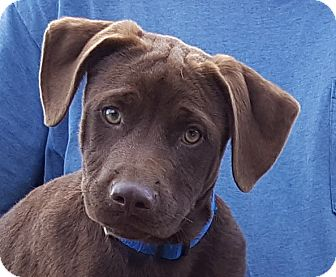 Labrador Retriever Mix Puppy for adoption in Colonial Heights, Virginia - Lucius