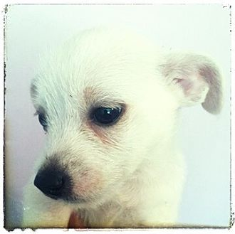 Miniature Poodle Mix Puppy for adoption in Lima, Pennsylvania - Casper