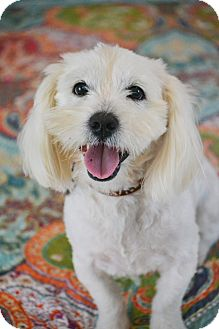 Lhasa Apso/Westie, West Highland White Terrier Mix Dog for adoption in Bedminster, New Jersey - Harrison