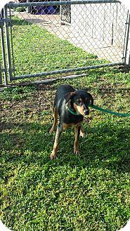 Doberman Pinscher/Shepherd (Unknown Type) Mix Dog for adoption in San Antonio, Texas - Bella
