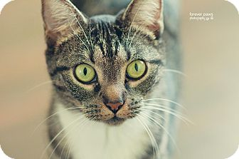 Domestic Shorthair Cat for adoption in Gainesville, Florida - Isabella